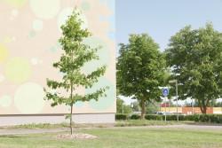KÜ Kalda tee 30 Tartus istutas Eesti Vabariigi 100. sünnipäevaks oma ühistu tamme 31.05.2018.
